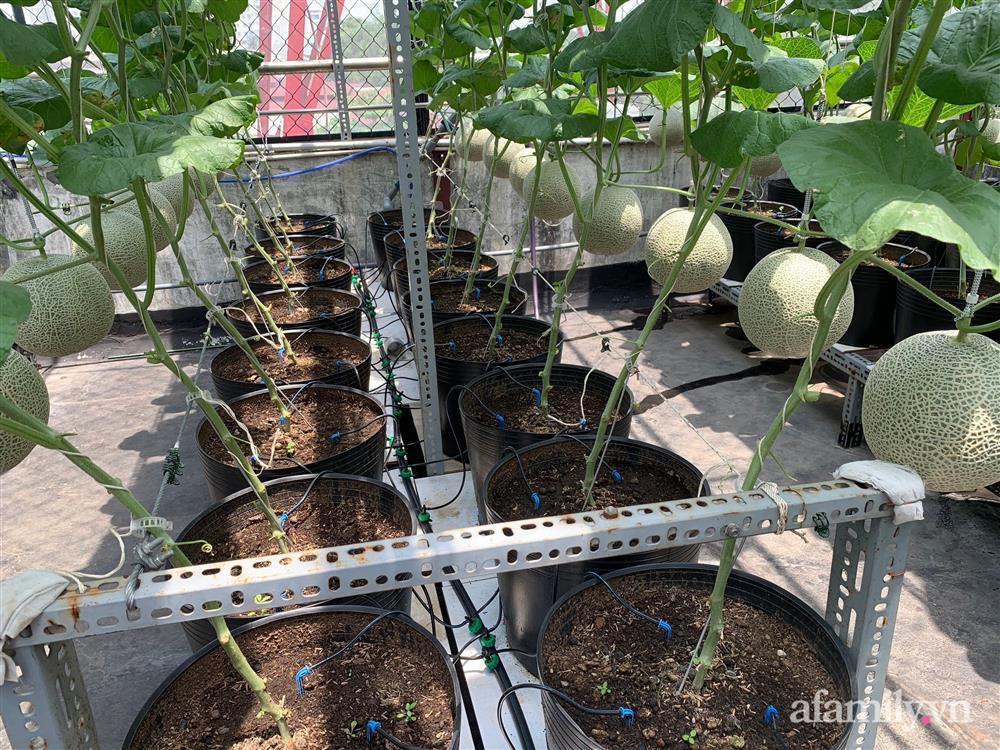 Vườn dưa lưới hữu cơ trên sân thượng với trái to đều tăm tắp ai nhìn cũng mê của cặp vợ chồng trẻ Sài Gòn-3
