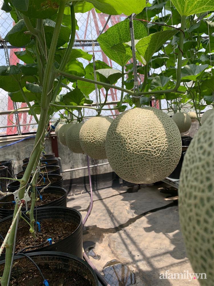 Vườn dưa lưới hữu cơ trên sân thượng với trái to đều tăm tắp ai nhìn cũng mê của cặp vợ chồng trẻ Sài Gòn-9