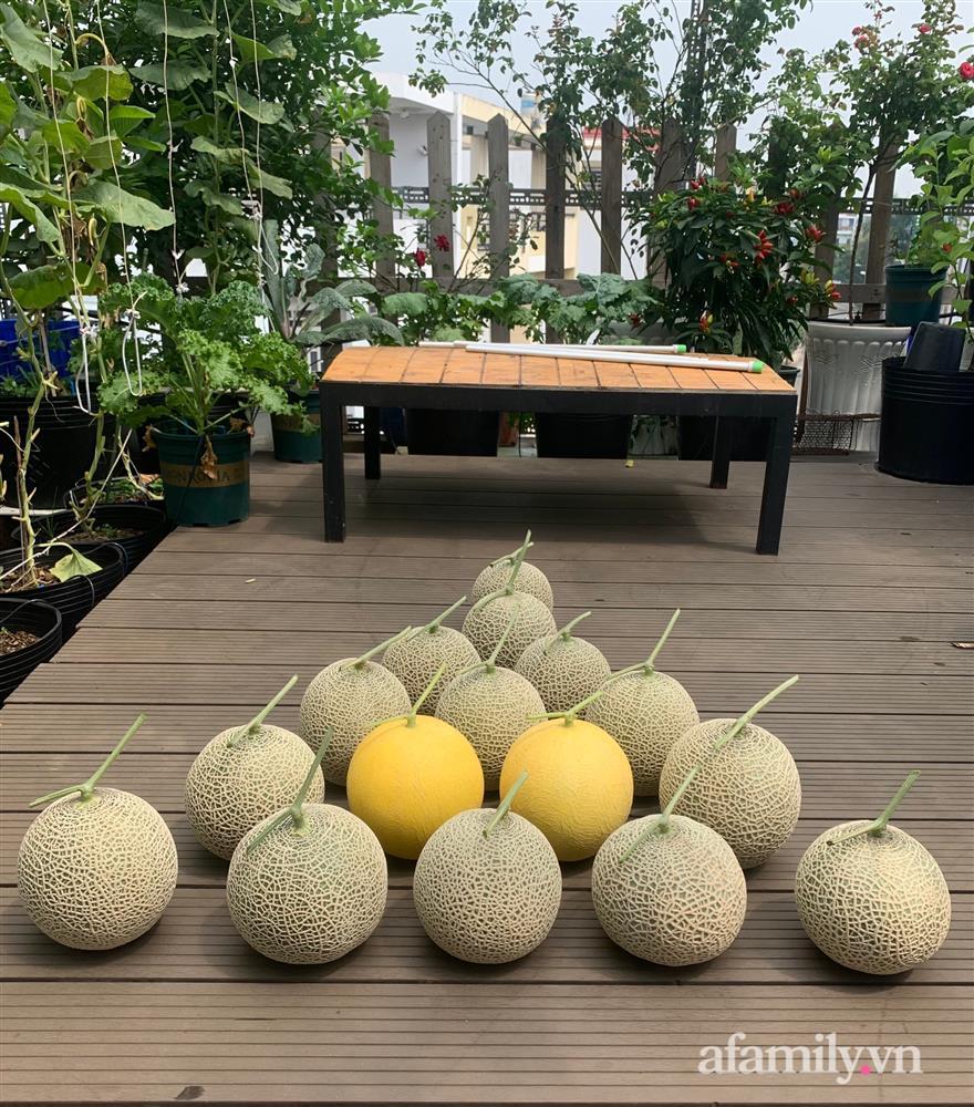 Vườn dưa lưới hữu cơ trên sân thượng với trái to đều tăm tắp ai nhìn cũng mê của cặp vợ chồng trẻ Sài Gòn-16