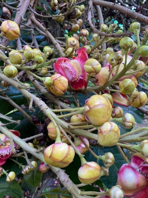 Vy Oanh khoe khu vườn ngập hoa thơm, cây ăn quả trĩu trái trong biệt thự rộng 1400m2-7