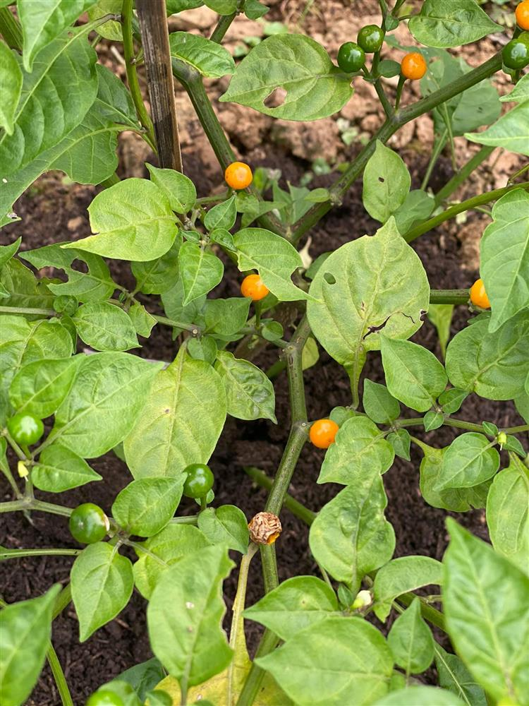 Cận cảnh khu vườn trong căn biệt phủ ngoại ô của hot mom Văn Thùy Dương, trồng được cả loại ớt đắt nhất thế giới có giá gần 1 tỷ đồng/kg-23