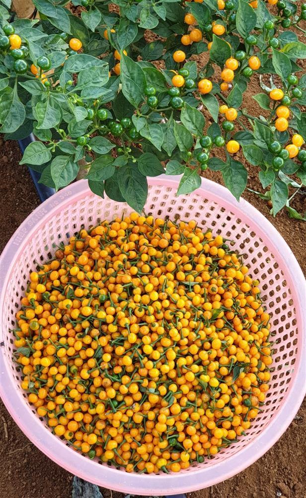 Cận cảnh khu vườn trong căn biệt phủ ngoại ô của hot mom Văn Thùy Dương, trồng được cả loại ớt đắt nhất thế giới có giá gần 1 tỷ đồng/kg-26