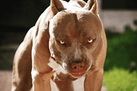 Bị chó Pitbull tấn công, làm thế nào để thoát nạn?