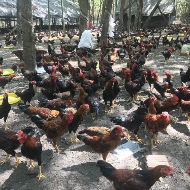 Chợ mạng bạt ngàn gà ủ muối hoa tiêu giá siêu rẻ chỉ 34k/nửa con-5