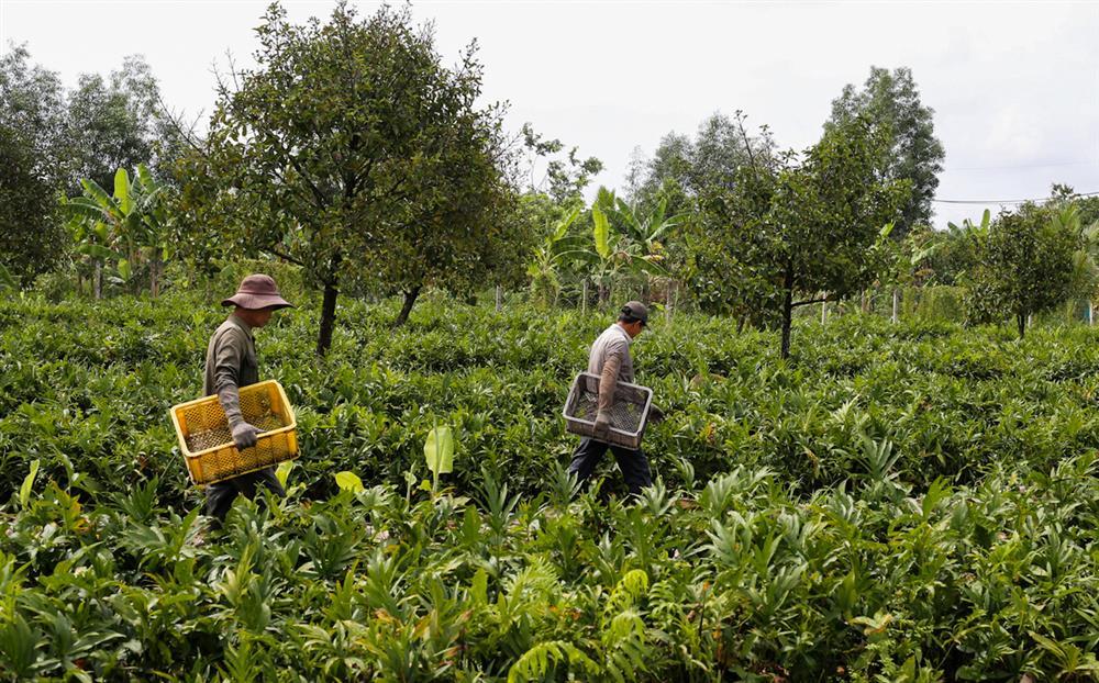 Xưa dùng để chống đói, nay trồng loại rau này không chỉ thoát nghèo mà còn kiếm tiền triệu mỗi ngày-1