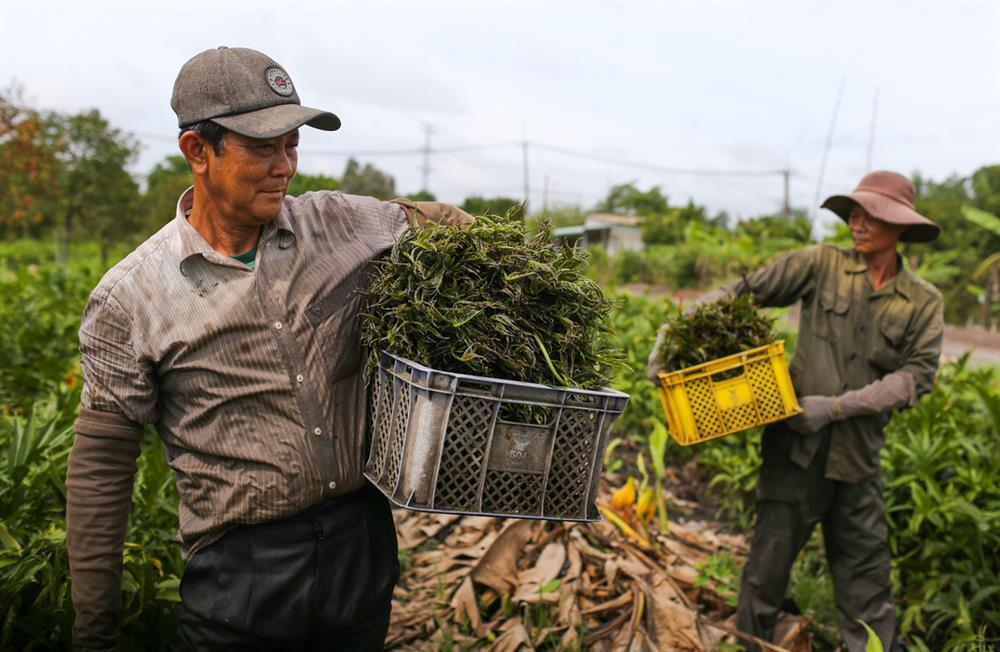 Xưa dùng để chống đói, nay trồng loại rau này không chỉ thoát nghèo mà còn kiếm tiền triệu mỗi ngày-2