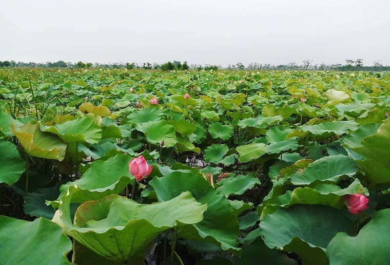 Biến đồng hoang thành đầm sen khổng lồ, anh nông dân lập kỷ lục triệu bông hoa-1