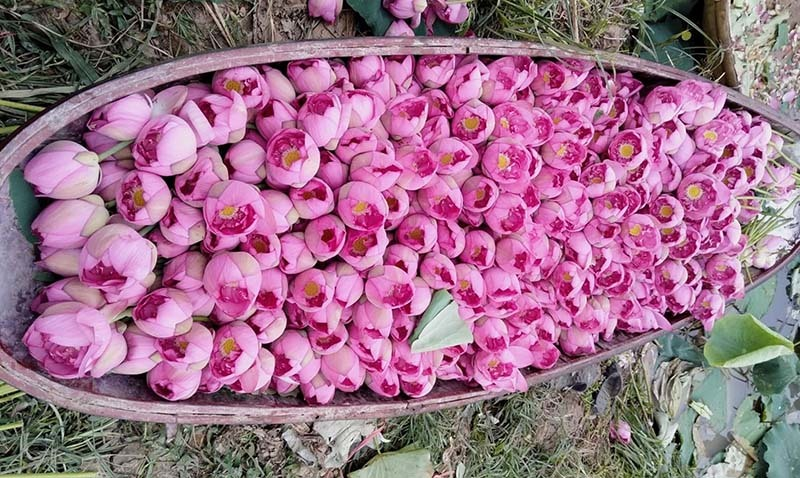 Biến đồng hoang thành đầm sen khổng lồ, anh nông dân lập kỷ lục triệu bông hoa-3