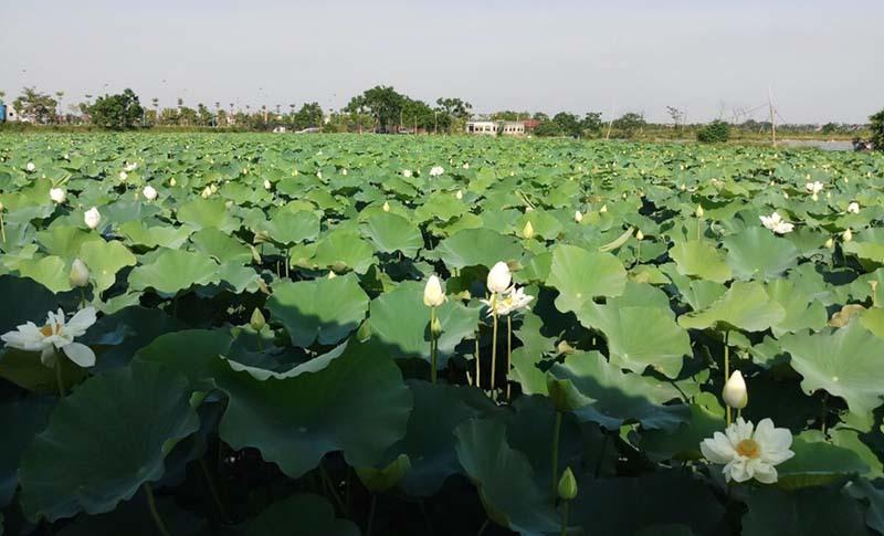Biến đồng hoang thành đầm sen khổng lồ, anh nông dân lập kỷ lục triệu bông hoa-6