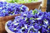 Trong hoa đậu biếc có 2 bộ phận chứa độc tố có thể gây ngộ độc, nhiều gia đình vẫn chưa biết để dùng cho đúng