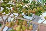 Vườn cây ăn quả trên sân thượng không khác gì một 'trang trại trên không' ở quận 9, Sài Gòn