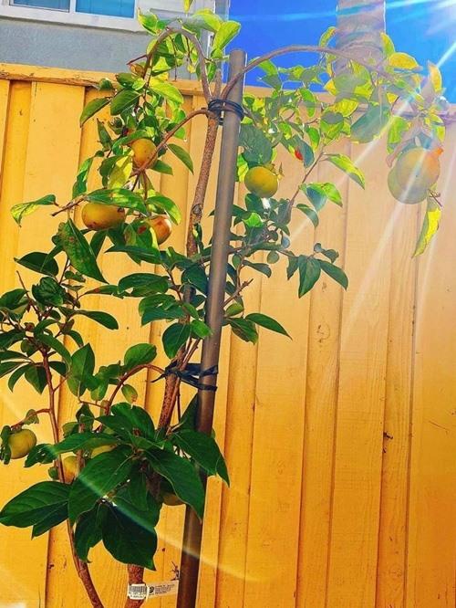 Ngắm khu vườn cây nào cũng trĩu quả và hoa rực rỡ trong biệt thự triệu đô ở Mỹ của Phạm Hương-3
