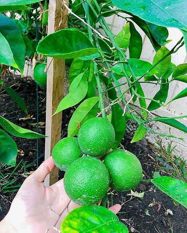Ngắm khu vườn cây nào cũng trĩu quả và hoa rực rỡ trong biệt thự triệu đô ở Mỹ của Phạm Hương-5