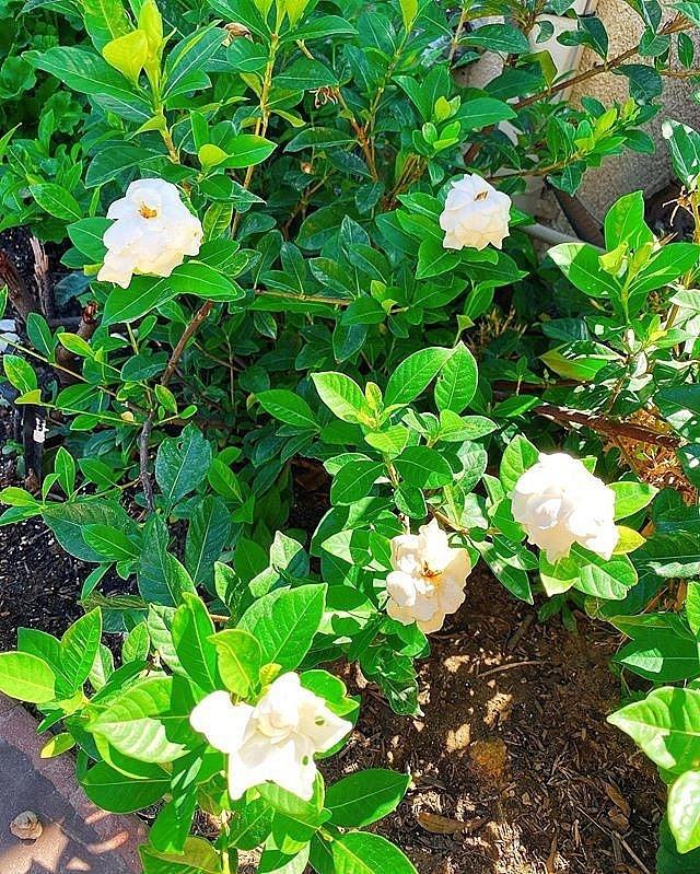 Ngắm khu vườn cây nào cũng trĩu quả và hoa rực rỡ trong biệt thự triệu đô ở Mỹ của Phạm Hương-12