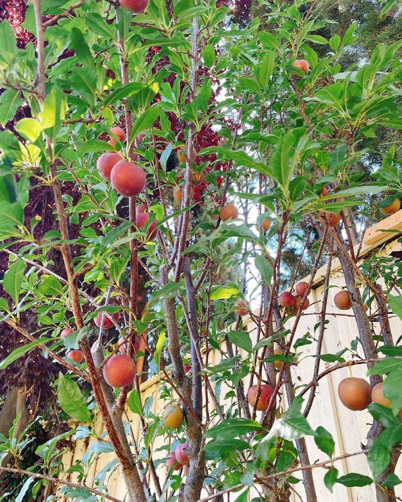 Ngắm khu vườn cây nào cũng trĩu quả và hoa rực rỡ trong biệt thự triệu đô ở Mỹ của Phạm Hương-18