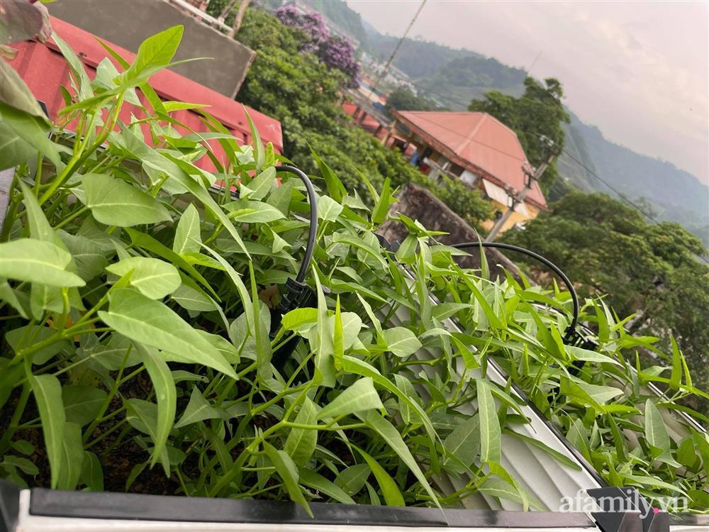Khu vườn sân thượng chỉ 15m² nhưng quanh năm bội thu rau quả sạch của mẹ đảm ở Lào Cai-3