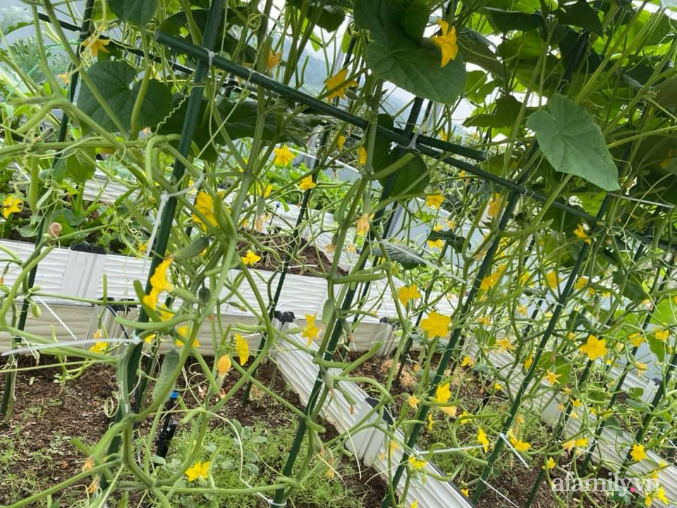 Khu vườn sân thượng chỉ 15m² nhưng quanh năm bội thu rau quả sạch của mẹ đảm ở Lào Cai-4