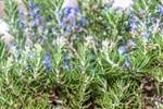 8 loại cây cảnh là kẻ thù của các loài côn trùng, đặt xung quanh nhà thì ruồi muỗi cũng không dám vào