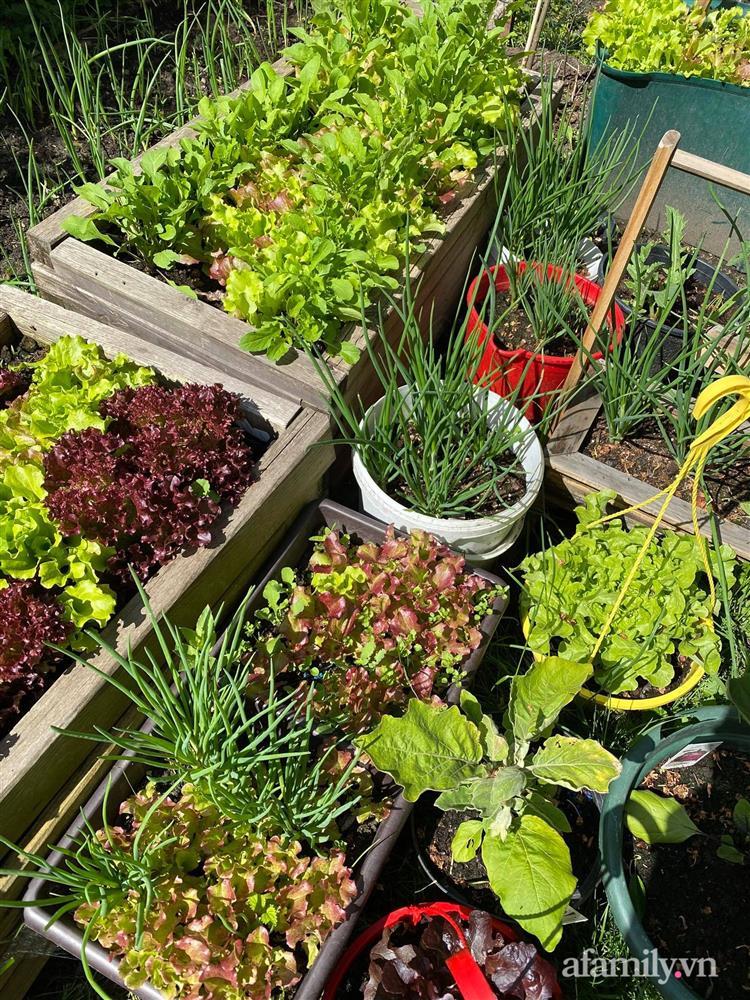 Vườn rau quanh năm tốt tươi với đủ loại rau quả của mẹ Việt-4