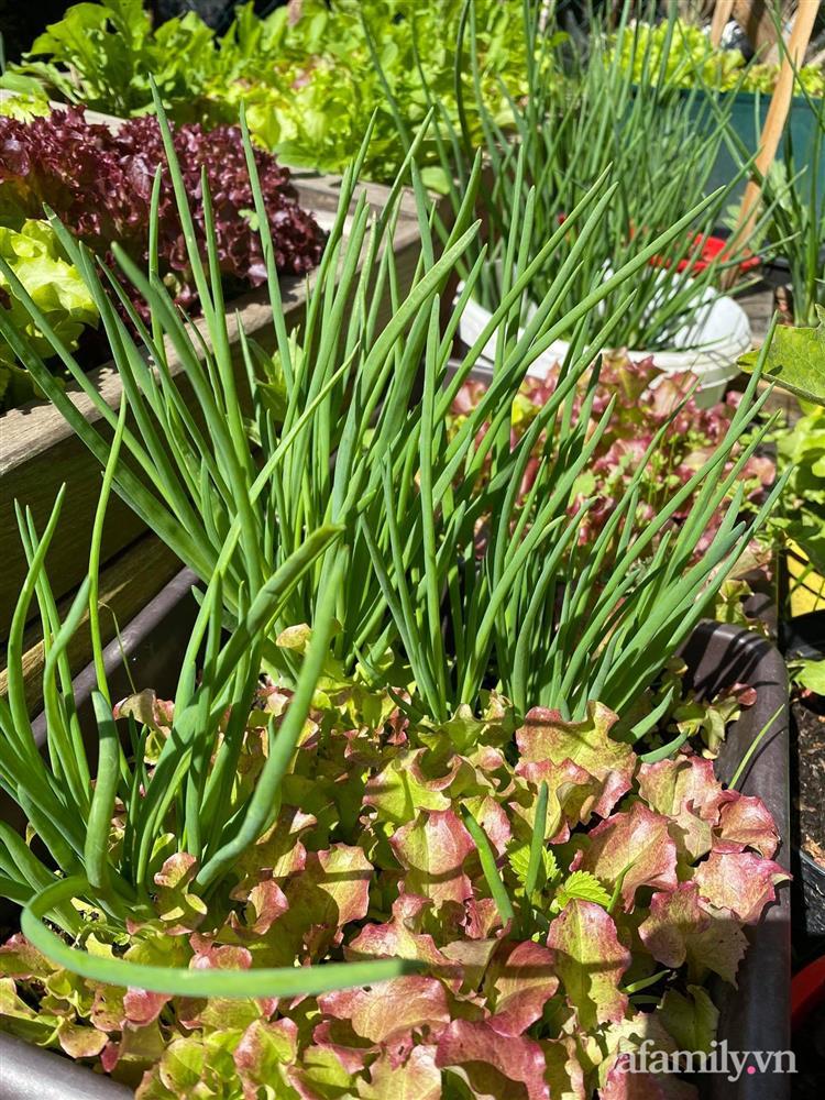 Vườn rau quanh năm tốt tươi với đủ loại rau quả của mẹ Việt-6