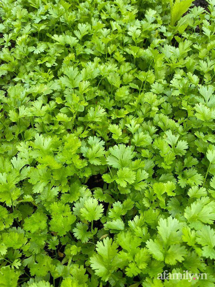 Vườn rau quanh năm tốt tươi với đủ loại rau quả của mẹ Việt-8