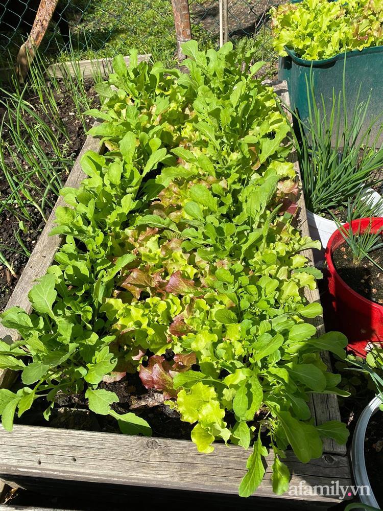 Vườn rau quanh năm tốt tươi với đủ loại rau quả của mẹ Việt-9