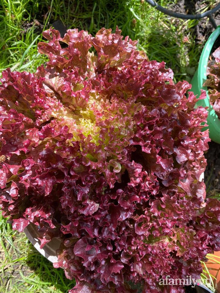 Vườn rau quanh năm tốt tươi với đủ loại rau quả của mẹ Việt-12