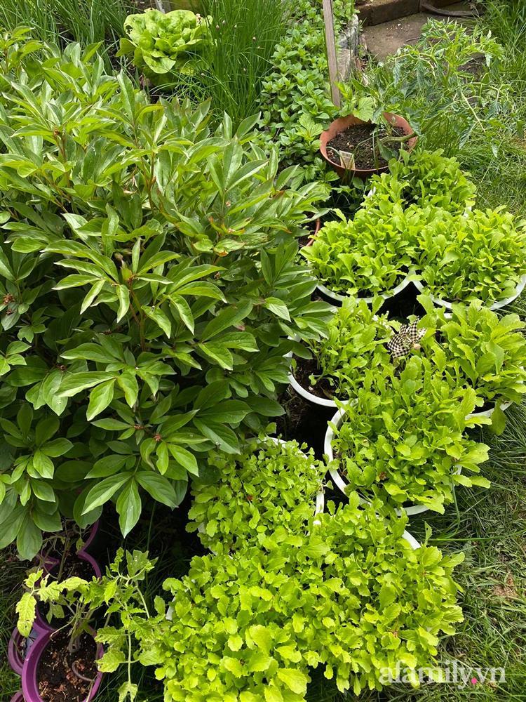 Vườn rau quanh năm tốt tươi với đủ loại rau quả của mẹ Việt-13