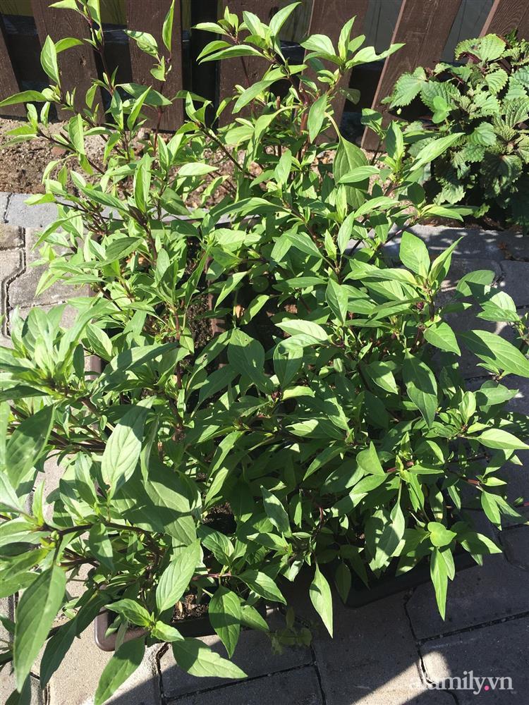 Vườn rau quanh năm tốt tươi với đủ loại rau quả của mẹ Việt-17