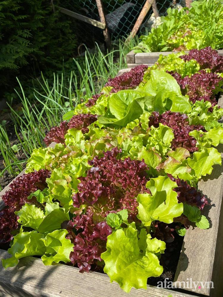 Vườn rau quanh năm tốt tươi với đủ loại rau quả của mẹ Việt-21