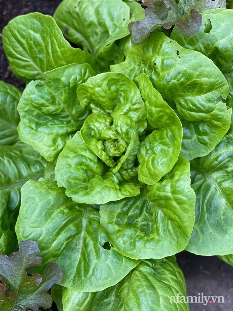 Vườn rau quanh năm tốt tươi với đủ loại rau quả của mẹ Việt-23