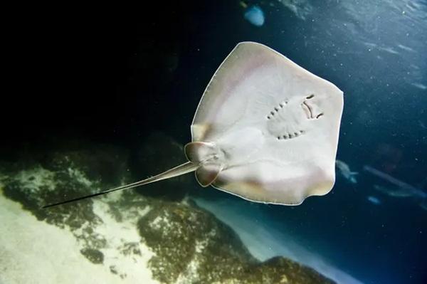 Clip: Bắt được chú cá đuối, ngư dân cù không ngừng để nó cười khiến con vật chết vì ngạt thở-3