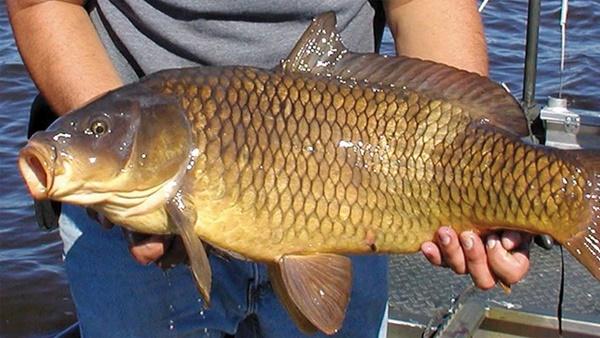 Một người đàn ông bị suy tạng sau khi nuốt mật cá chép: Chuyên gia khẳng định đây là bộ phận trong con cá không nên ăn!-2