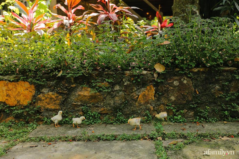 Cuộc sống yên bình trong ngôi nhà nhỏ và khu vườn xanh mát bóng cây ở ngoại thành Hà Nội-24