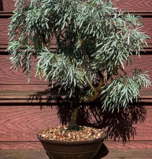 10 loại cây gia chủ nên trồng trong hoặc xung quanh nhà, vừa đẹp lại giúp xua đuổi muỗi và bọ một cách tự nhiên-2