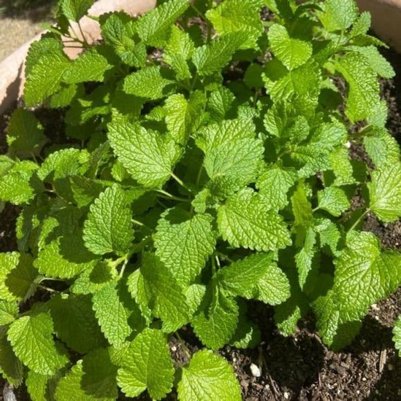 10 loại cây gia chủ nên trồng trong hoặc xung quanh nhà, vừa đẹp lại giúp xua đuổi muỗi và bọ một cách tự nhiên-4