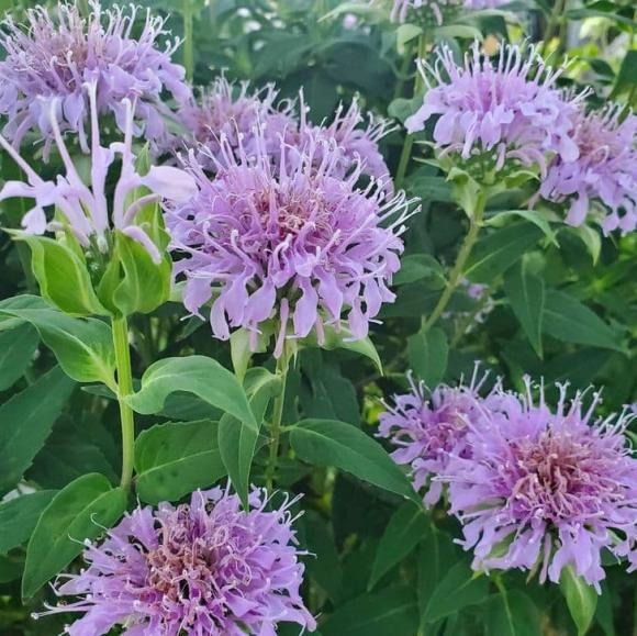 10 loại cây gia chủ nên trồng trong hoặc xung quanh nhà, vừa đẹp lại giúp xua đuổi muỗi và bọ một cách tự nhiên-5