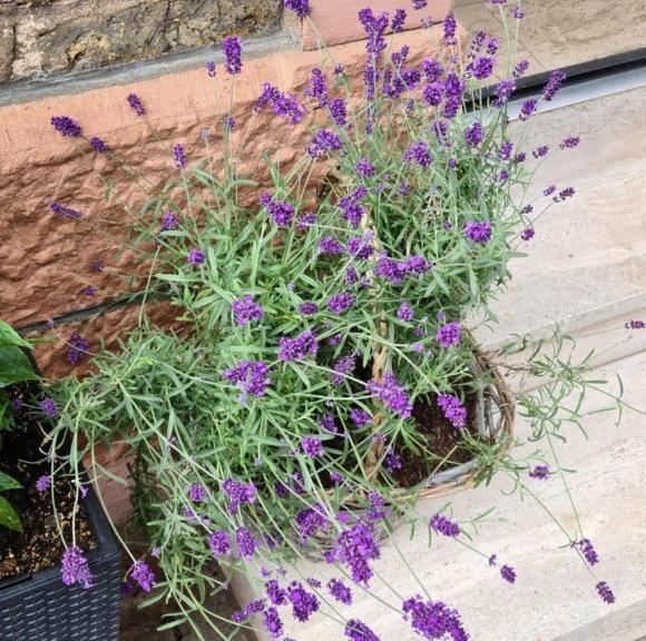 10 loại cây gia chủ nên trồng trong hoặc xung quanh nhà, vừa đẹp lại giúp xua đuổi muỗi và bọ một cách tự nhiên-7