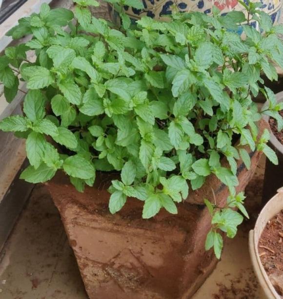 10 loại cây gia chủ nên trồng trong hoặc xung quanh nhà, vừa đẹp lại giúp xua đuổi muỗi và bọ một cách tự nhiên-9