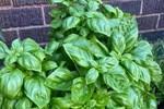 10 loại cây gia chủ nên trồng trong hoặc xung quanh nhà, vừa đẹp lại giúp xua đuổi muỗi và bọ một cách tự nhiên