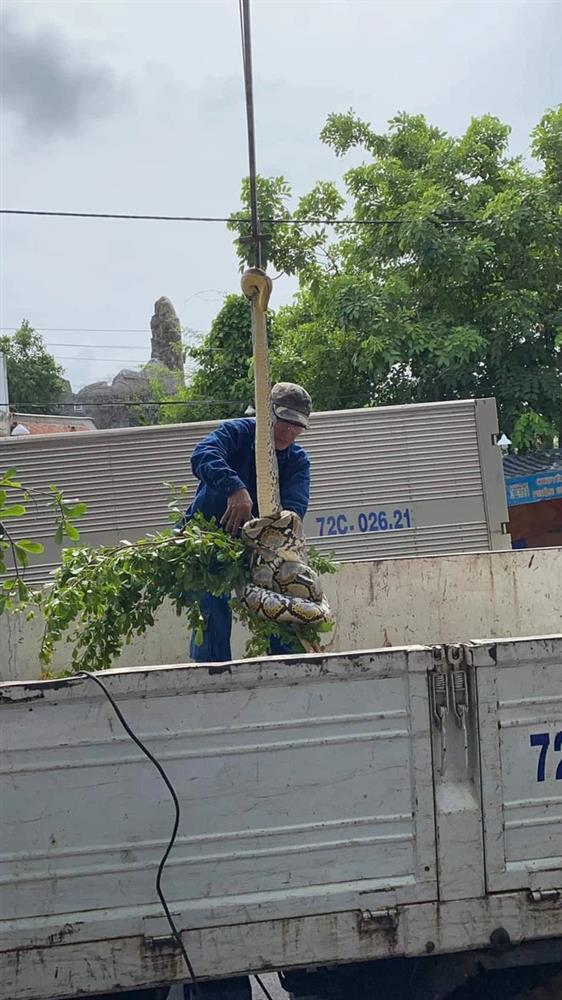 Xôn xao hình ảnh 2 người đàn ông chật vật bắt trăn khủng cuộn tròn trên cây xanh ven đường-1