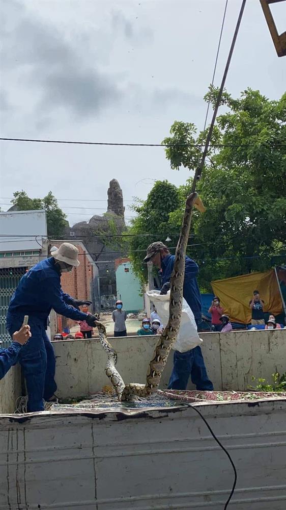 Xôn xao hình ảnh 2 người đàn ông chật vật bắt trăn khủng cuộn tròn trên cây xanh ven đường-2