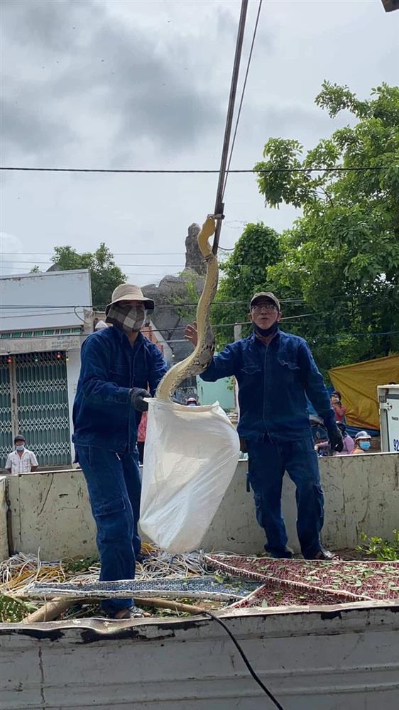 Xôn xao hình ảnh 2 người đàn ông chật vật bắt trăn khủng cuộn tròn trên cây xanh ven đường-3
