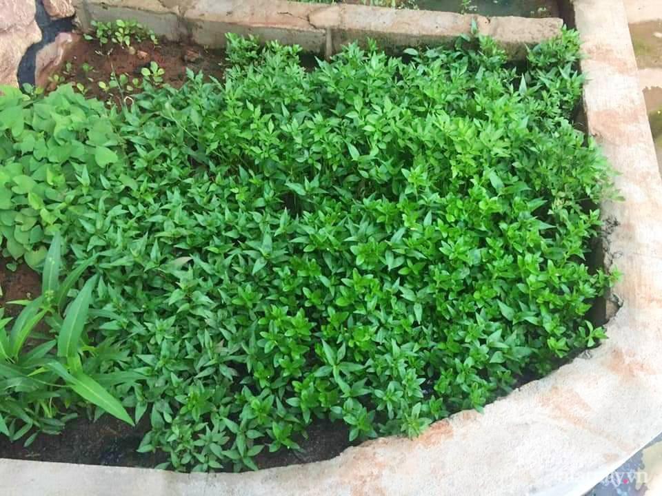 Khu vườn trước cửa xanh mát với đủ loại rau củ của chàng trai Việt ở châu Phi-14