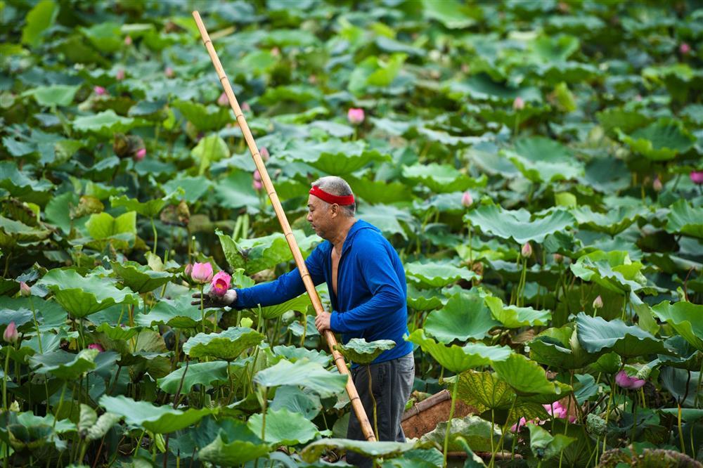 Chủ đầm sen hồ Tây bán hàng nghìn bông mỗi ngày-1