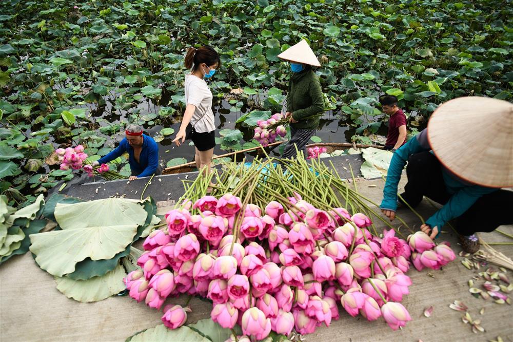 Chủ đầm sen hồ Tây bán hàng nghìn bông mỗi ngày-2