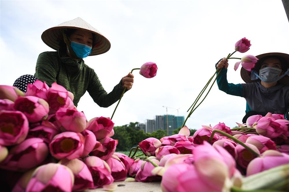 Chủ đầm sen hồ Tây bán hàng nghìn bông mỗi ngày-4