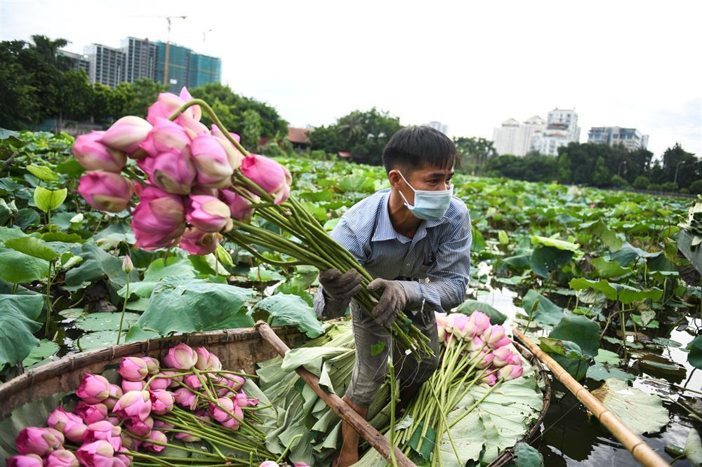 Chủ đầm sen hồ Tây bán hàng nghìn bông mỗi ngày-5