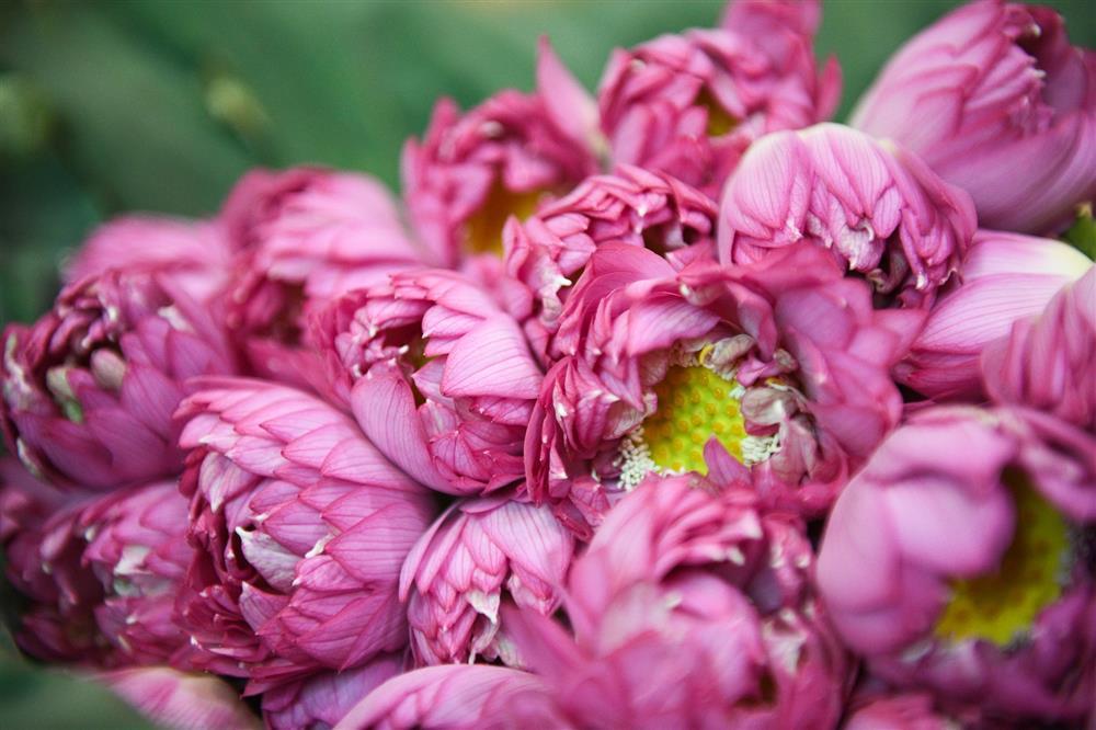 Chủ đầm sen hồ Tây bán hàng nghìn bông mỗi ngày-7