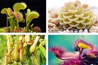 4 loại cây 'ăn thịt' với hình dáng cực xinh, giúp kiểm soát ruồi muỗi trong nhà
